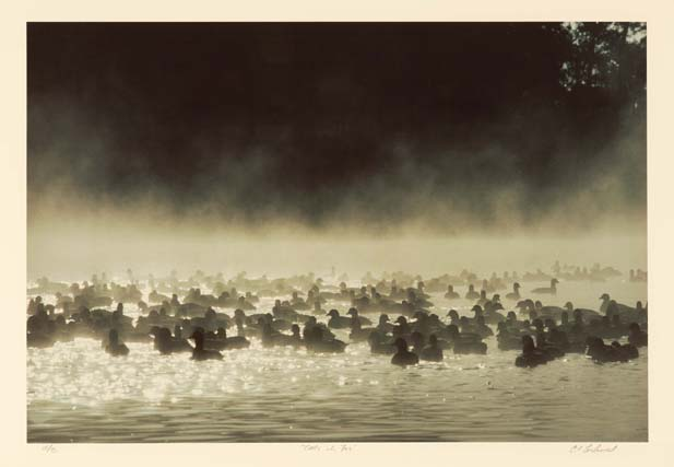 Coots in the Fog