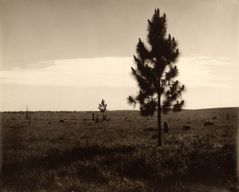 Cut Over Pine Land