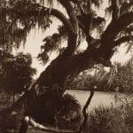 Live Oak on the Amite River (Near Clio, La)