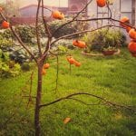 Persimmons, 255 Beverly Drive