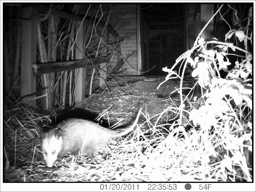 Possum, 4705 N. Tonti St., January 20, 2011, 10:35:55, 54f