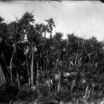 Paurotis Palms